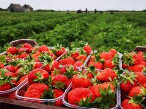 Збір полуниці